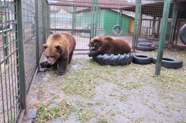 Из хвойных иголок делают подстилку для медведей.