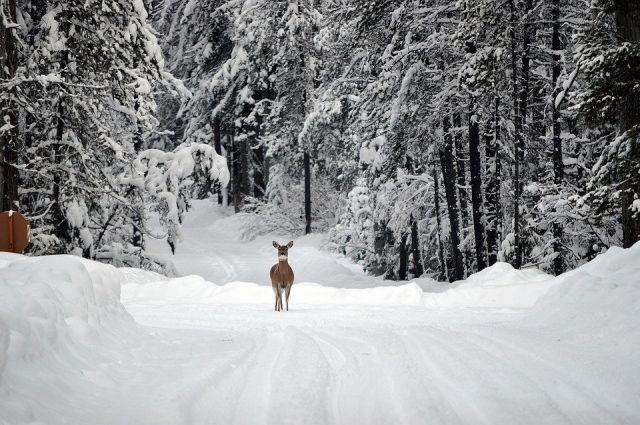 Сейчас в Красноярском крае приблизительно 128 тыс. голов оленей.