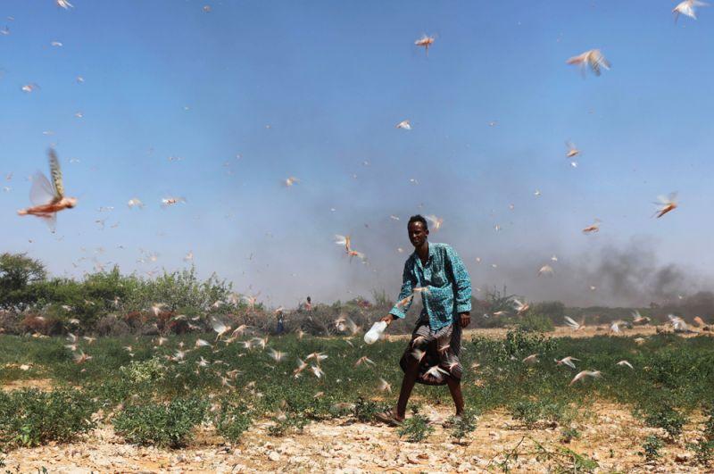 Сомалийский фермер разгоняет пустынную саранчу на поле.