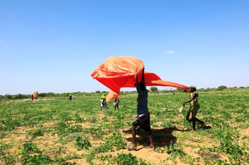 Сомалийские фермеры используют пластиковые мешки, чтобы разгонять насекомых.