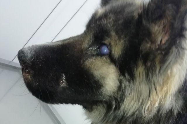 После ранения молодой пёс, котрого назвали Ром, ослеп на один глаз.