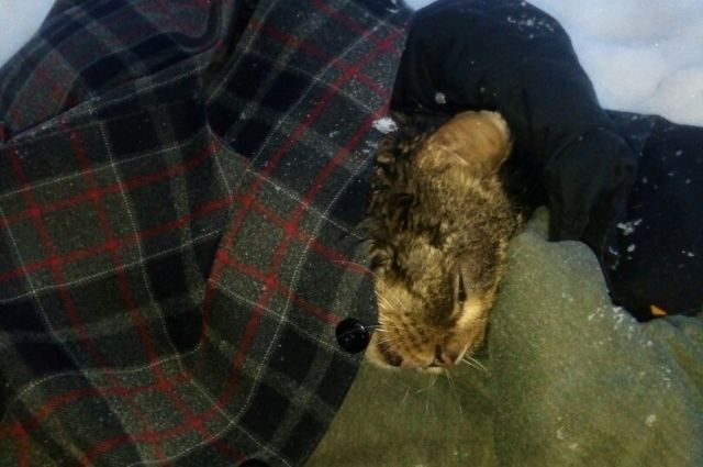 На момент, когда его привезли на обследование, температура тела у кота была 32°C. (при норме 38-39°C.). Её удалось поднять до 36°C.
