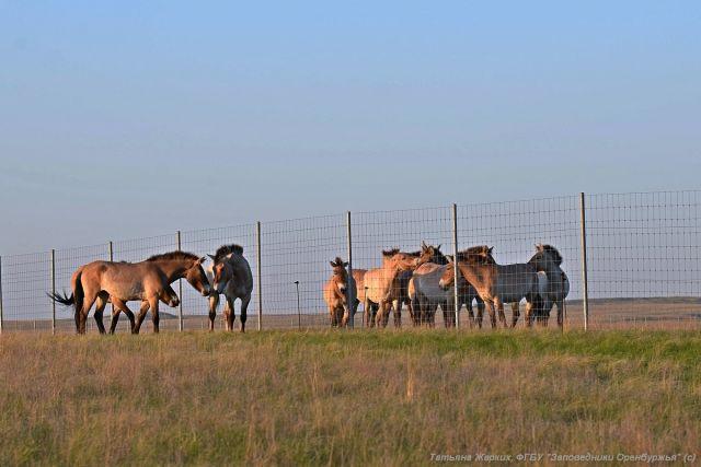 В Оренбуржье привезут лошадей Пржевальского из Америки.