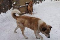 Тюменский пес Малыш, брошенный на объездной, нашел хозяев