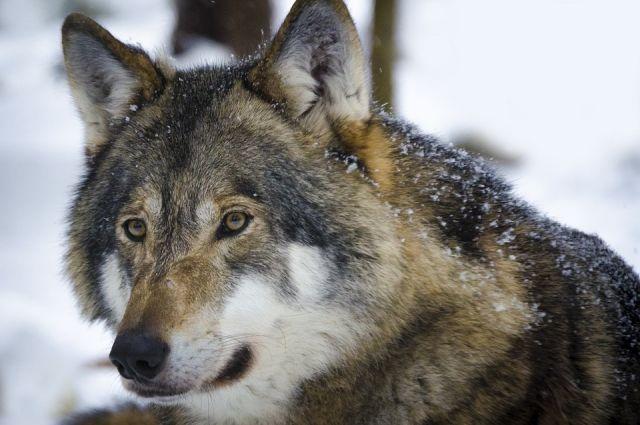 Волки выманили собаку подальше от дома.