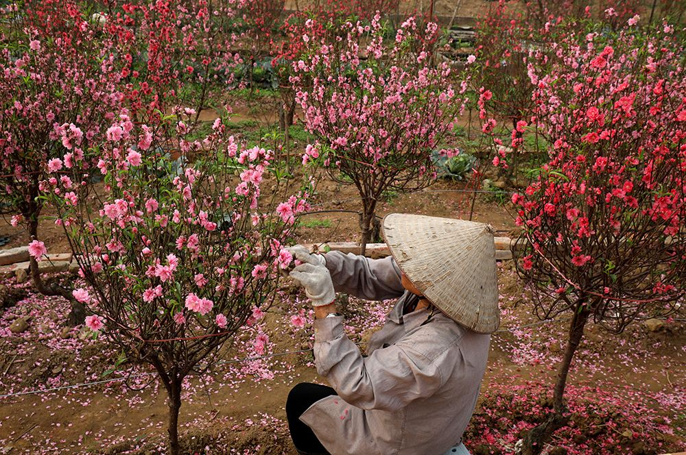 Вьетнамский фермер подготавливает персиковые деревья для продажи перед празднованием Нового года в Ханое, Вьетнам.
