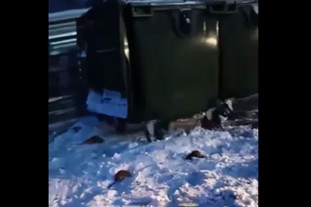 Сотни грызунов разгуливают у мусорных контейнеров.