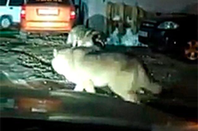 Кто-то утверждает, что влчаки убили встретившуюся на пути собаку, кто-то — что её сбила машина, а животные просто играют с телом.