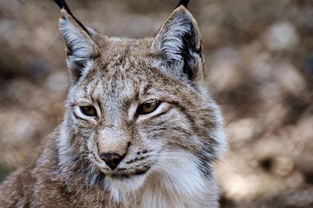 Опасную хищницу заметили жители Березников прямо в черте города.