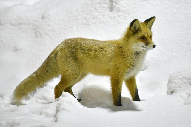 Если лиса подходит и начинает ласкаться – это первый признак бешенства, затем будет агрессия.