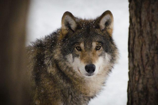 Сообщение о нашествии волков на восток Оренбуржье - фейк.