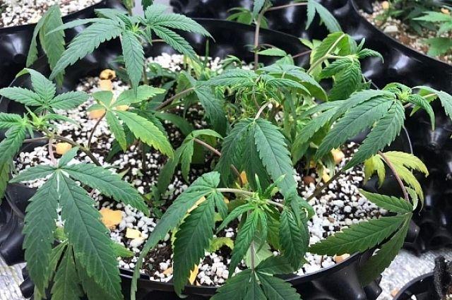 Карелия конопля слабая вторая полоска на тесте на марихуану