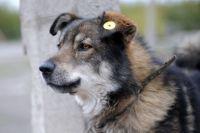 Стирилизованных и вакцинированных собак можно отличить по клипсе в ухе