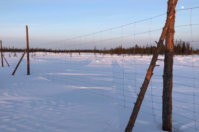 В Надымском районе продолжают развивать изгородное оленеводство