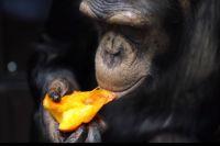В Тюмени дрессировщик Запашный защитил артистов и обезьян от вирусов