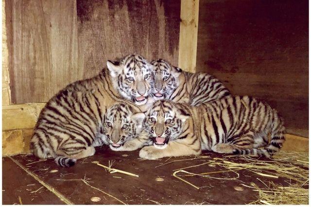 Для японского зоопарка рождение тигрят стало большим событием, ведь это первое потомство амурских тигров за 11 лет.