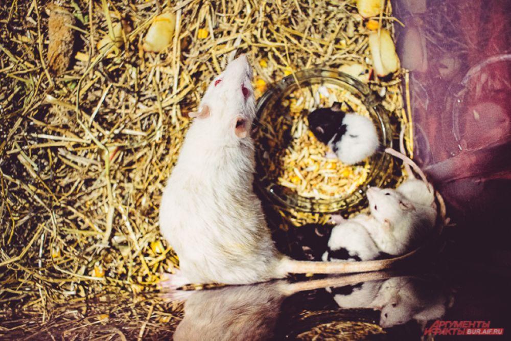 ... или белых мышей