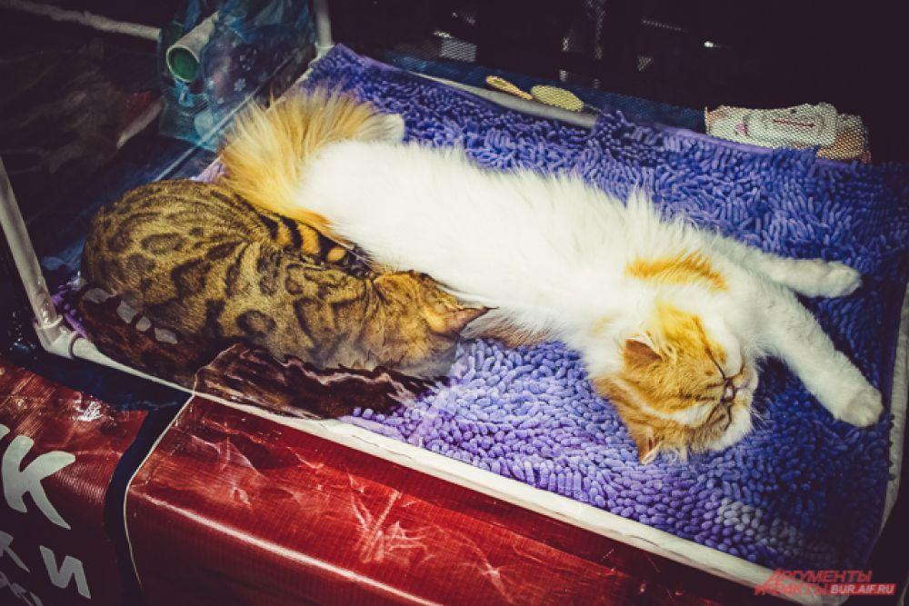 За кошками особых пород нужен особый уход. К примеру, породы с приплюснутыми мордочками требуют особого внимания к глазам и дыханию
