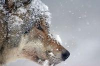 Ежегодно охотники Приангарья добывают минимум 150 волков.