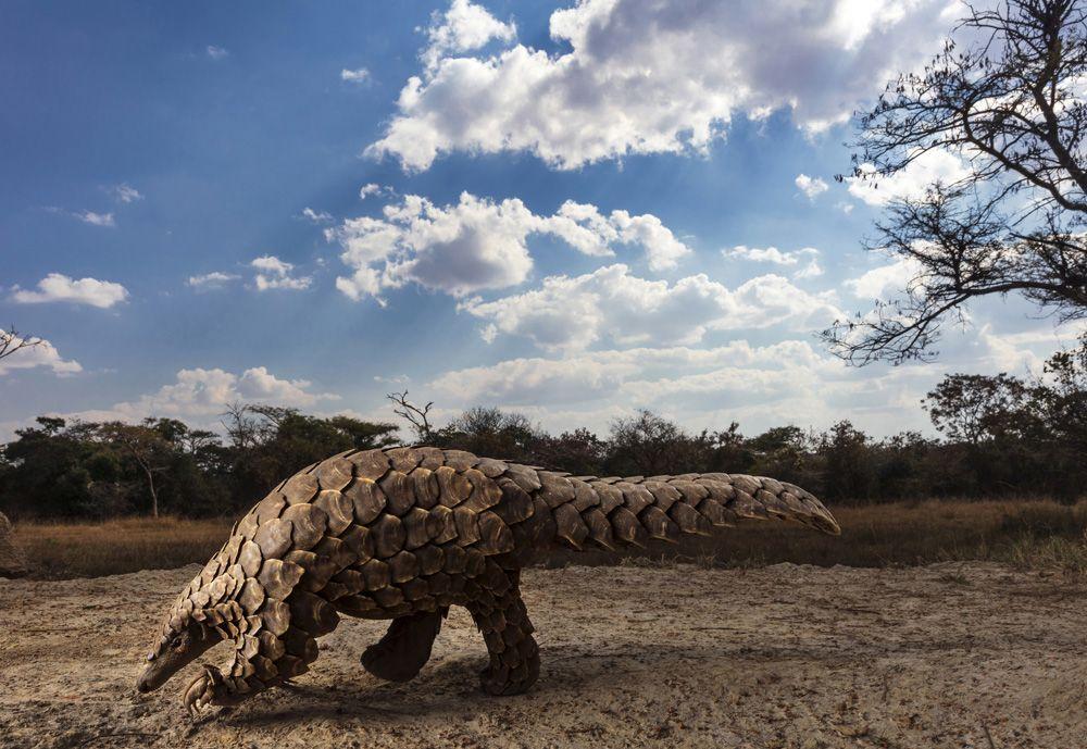 Саванный панголин снова учится добывать корм после того, как был спасен у торговцев на границе Зимбабве и Южной Африки.