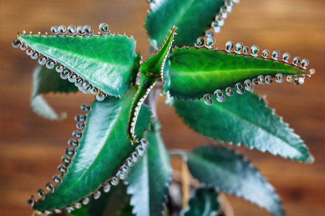Лечимся суккулентами. Неприхотливые растения помогут поддержать здоровье