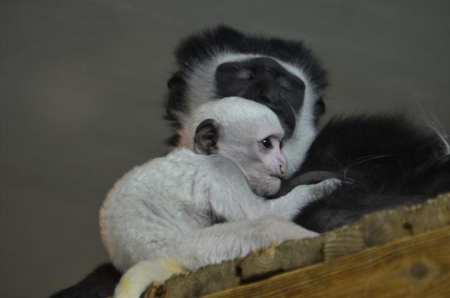 Детеныши забавных носатых обезьянок сильно отличаются от взрослых особей.