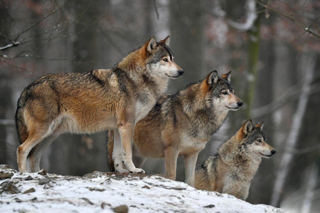 17 февраля: церковный праздник, именины, народный календарь, «Волчий сват»