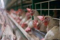 Казахстан запретил ввоз мяса птицы из Винницкой области: причина