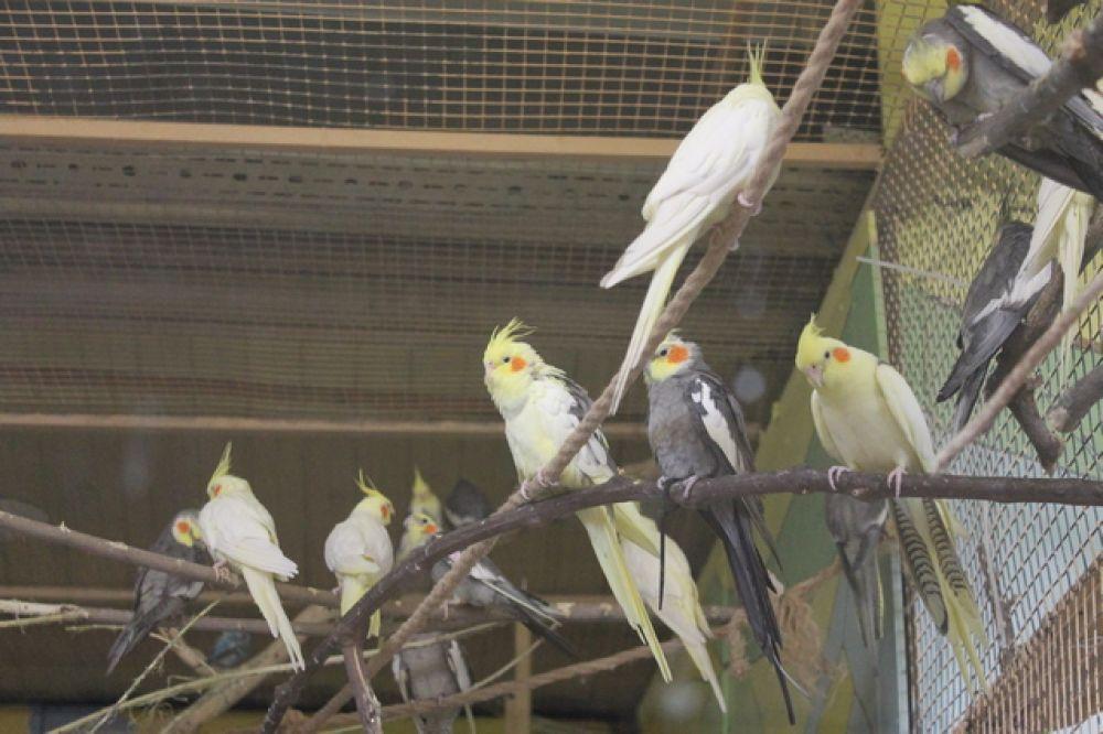 Попугаи кореллы всю зиму пытались гнездиться, хотя обычно они так активно размножаются весной. В результате они показали небывалый рост размножения.