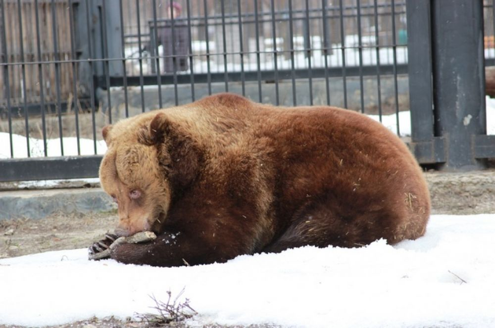 Желания выйти на прогулку у медведей пока нет, но сон у них в этом году очень чуткий. Они реагируют на шум, поэтому сотрудники зоопарка стараются соблюдать тишину. Ведь зимний сон крайне важен для здоровья медведей (фото из архива)