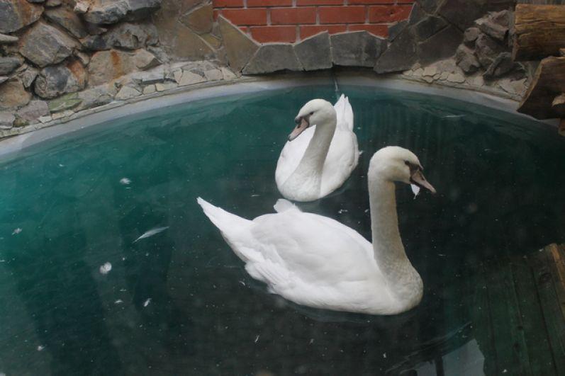 За зиму оперились лебеди, и стало понятно, что новые обитатели зоопарка – самец и самка.