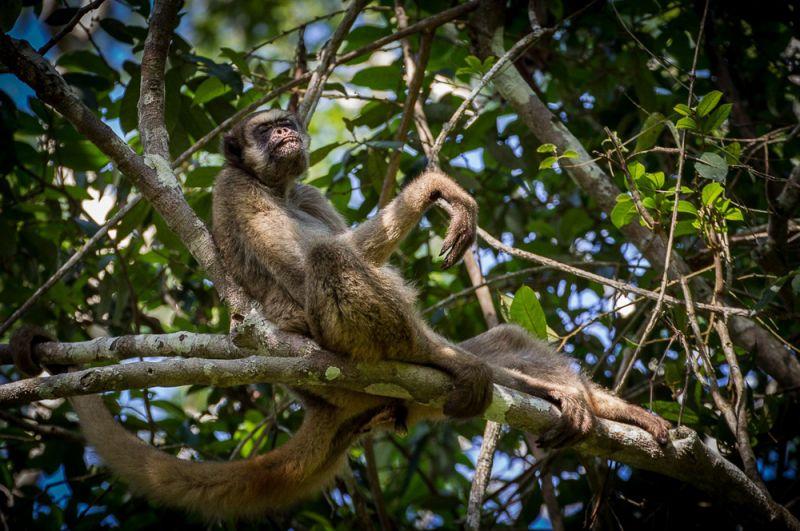 Рыжеватая обезьяна. Этот вид населяет атлантические леса в бразильских штатах Рио-де-Жанейро, Эспириту-Санту, Минас-Жерайс и Баия. Животные имеют уникальный рисунок шерсти на морде, отличающий их от родственных видов. В настоящее время их насчитывается около 1000. Главными угрозами для них являются охота и разрушение среды обитания.