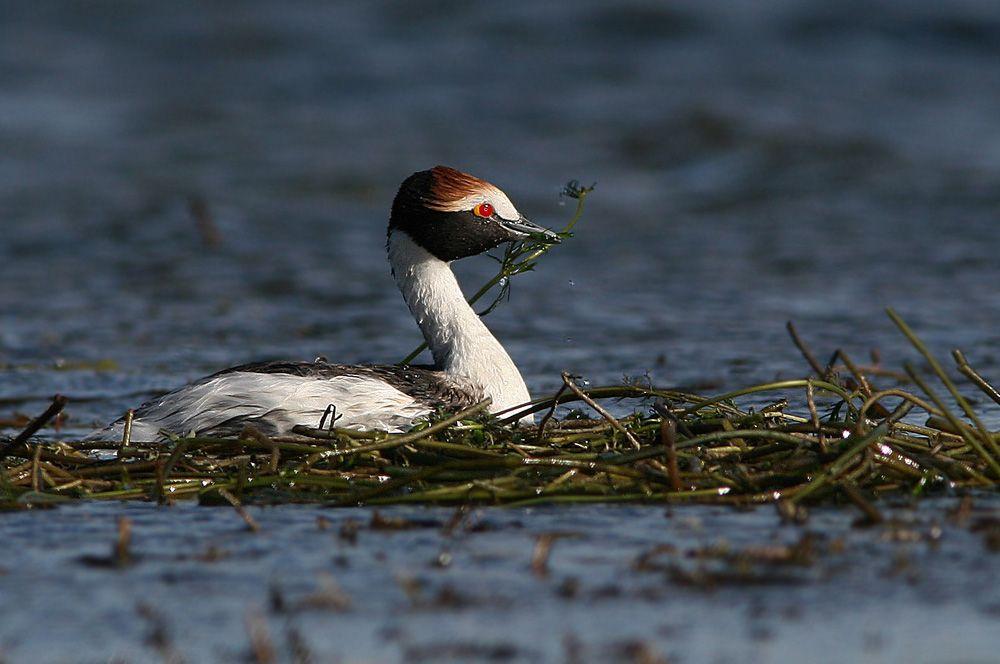 Чубатая поганка. Эта птица обитает на изолированных озерах в Патагонии. Находится под угрозой из-за нападения норок и чаек. Кроме того, птицам угрожает выпас скота и низкий темп воспроизводства популяции. Их популяция оценивается в 650-800 взрослых особей.