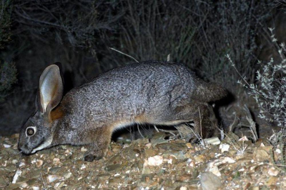 Бушменов заяц. Редкий вид зайцобразных, обитающий в пустыне Карру в ЮАР. Численность вида в естественных популяциях составляет от 157 до 207 половозрелых особей.