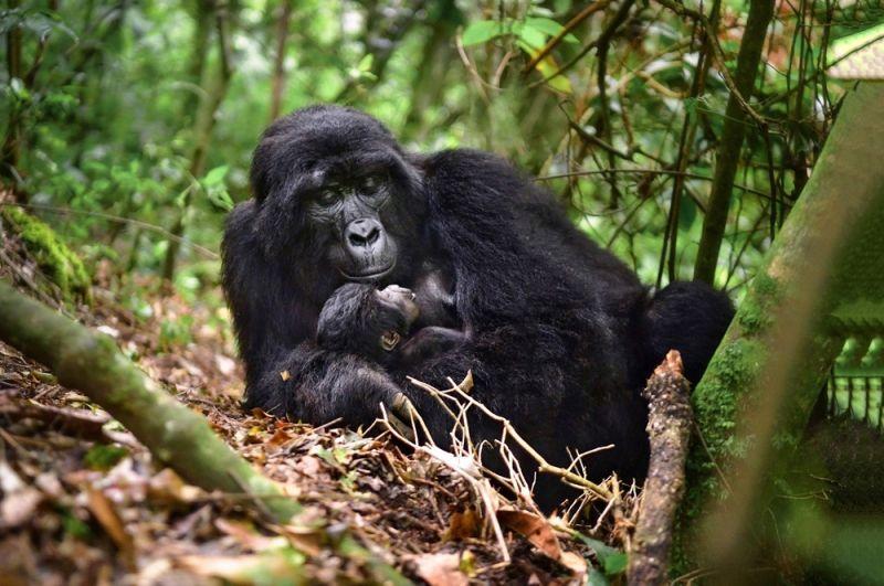 Восточная горилла. Горные гориллы проживают в изолированных субпопуляциях в Руанде, Уганде и Демократической республике Конго. Общая численность во всех группах оставляет 2600 особей.