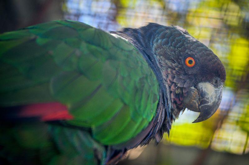 Императорский амазон. Эта птица семейства попугаевых обитает на острове Доминика и изображена на флаге страны. Находится на грани исчезновения из-за разрушения естественной среды обитания, охоты и незаконного отлова с целью продажи. Сейчас в дикой природе насчитывается от 1 до 49 взрослых особей.