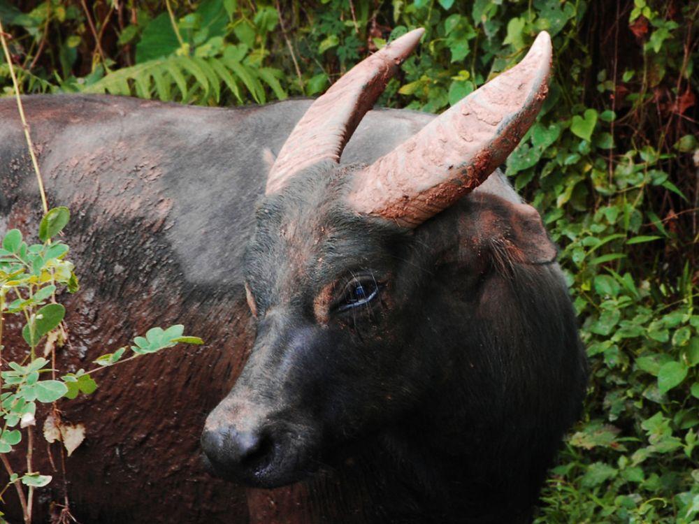 Тамарау или филиппинский буйвол. Наиболее крупный из островных буйволов, эндемик Филиппин. Сейчас вид находится под угрозой — раньше тамарау встречались во всех частях острова Миндоро, а теперь только на нескольких участках, в частности, в крупнейшем национальном парке страны — Маунтс-Иглит — Бако. Всего их насчитывается от 220 до 300 особей.