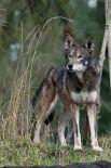 Рыжий волк. Редчайший представитель рода. Был широко распространён на юго-востоке США, их массово  истребляли за нападения на домашний скот и птицу. В 1967 году вид был объявлен вымирающим, вся нынешняя популяция (20-30 взрослых волков) произошла от 14 особей, содержавшихся в неволе, куда их специально поместили для разведения.