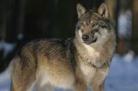 Только с начала 2020 года в Прикамье добыли 74 волка.