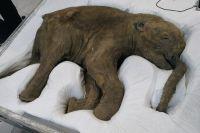 В тюменский музей привезли мамонтенка Любу