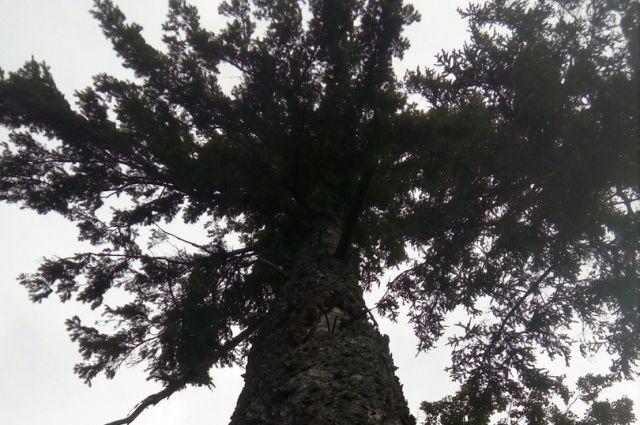 Оренбуржцу грозит год колонии за вырубку двух сосен.