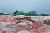 Вокруг станции «Академик Вернадский» в Антарктиде «зацвел» снег