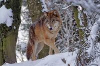 В Уватском районе волки нападают на собак