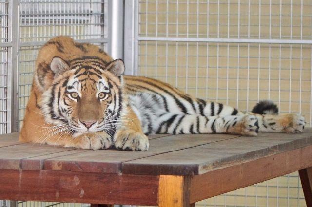 Решение об отправке Таисии в ОАЭ было одобрено кураторами международной программы по сохранению вида.