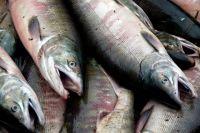 В Оренбургскую область пытались провести 3 тонны испорченной рыбы