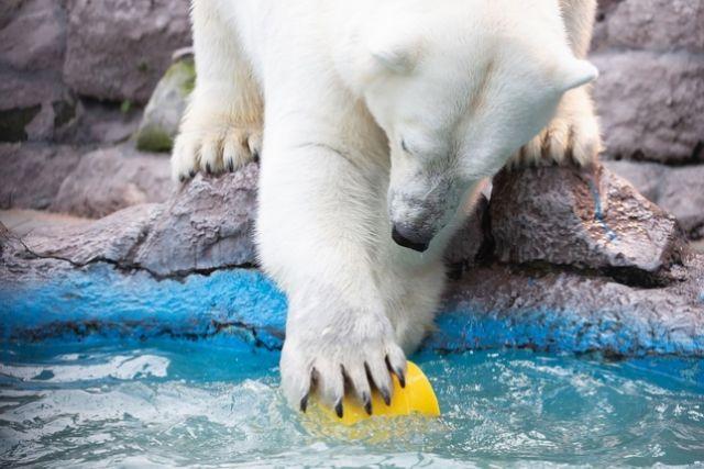 27 февраля отмечался всемирный День полярных медведей.