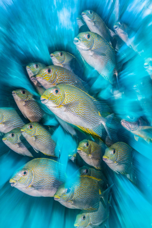 Рыбы сиганы (rabbitfish) в архипелаге Раджа-Ампат в Индинезии.