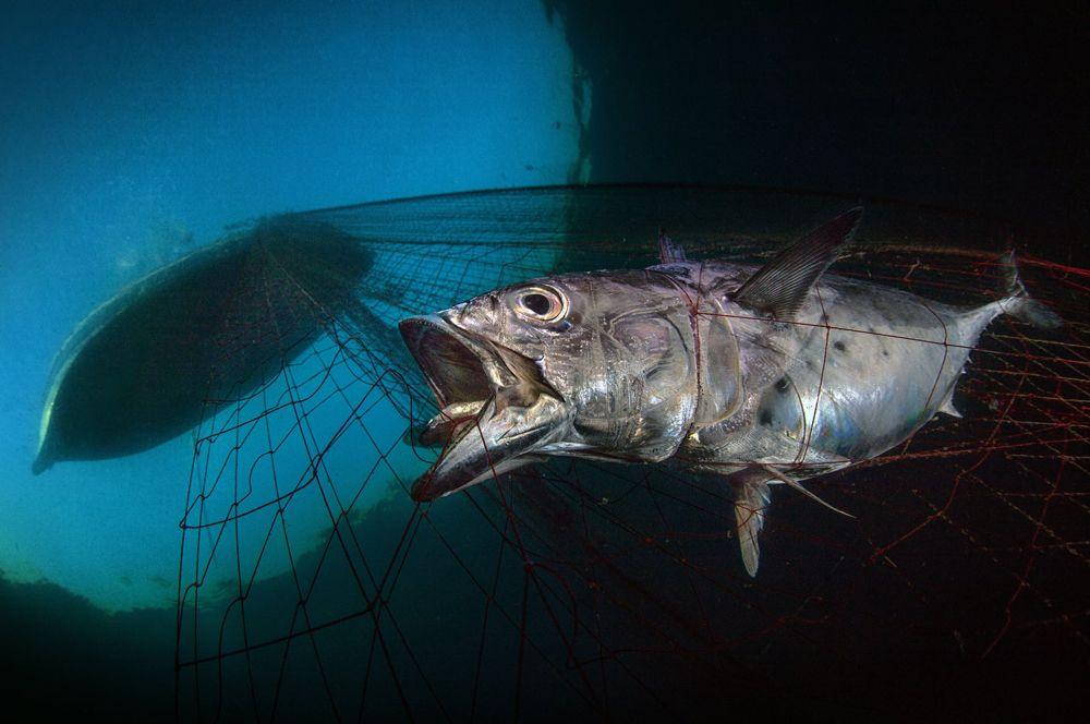 Пойманный тунец в сетях рыбаков.