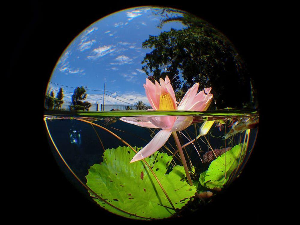 Лилия на озере Улуна в Северном Сулавеси, расположенном на высоте 670 м над уровнем моря.