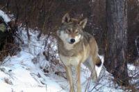 Волк попал в фотоловушку.